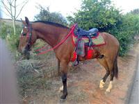 Cavalo castanho manga larga paulista