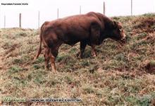 Reprodutores Limousin