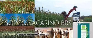 Sorgo Sacarino