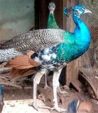 Aves ornamentais Pavão Faisão