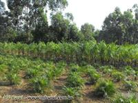 Palmeira Imperial e plantas ornamentais