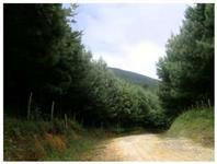 REFLORESTAMENTO PINUS TAEDA 16 anos, 40 km de CURITIBA - ASFALTO