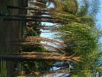 Palmeira Gerivá