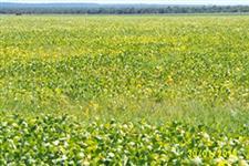 Fazenda Nova Mutum com soja