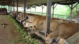 Vacas Leiteiras plantel
