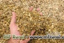 Silagem de milho para alimentação animal