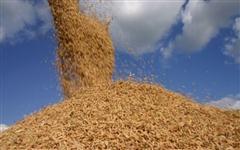 Palha de arroz - Casca de arroz