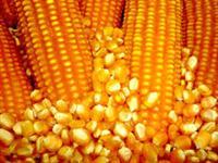 Vendo Milho Mercado Interno Direto do Produtor