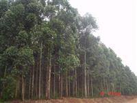 Vendo fazenda no PR com plantação de eucalipto