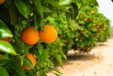 Vendo fazenda em Bariri/SP com lavoura de laranja sadia