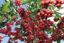 Vendo s�tio na regi�o de Vera Cruz/SP com lavoura de caf�,laranja e manga