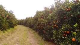 Vendo fazenda com lavoura de laranja no Vale do Paranapanema/SP