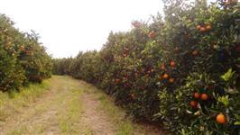 Vendo excelente fazenda com plantação de laranja sadia no interior de São Paulo