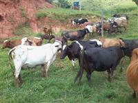 Vendo Urgente - Vacas para leite ao pasto