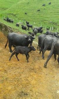 Búfalas paridas e amojando