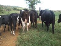 Vacas Girolandas Amojando
