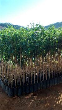 Árvores nativas a partir de 1,50m a 2,00m