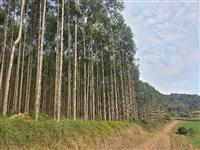 Floresta de Eucalipto Grandis Clonado a venda