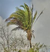 Adubo orgânico da palmeira do babaçu e Mudas de plantas nativas
