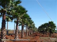 Palmeira Washingtônia