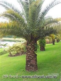 Palmeira Butiar