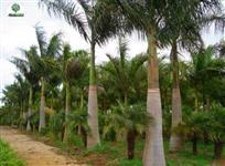 Palmeira Imperial com 2 metros de tronco cinza