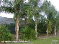 Palmeira Licuri