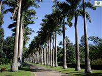 Palmeira Imperial  todos os tamanhos