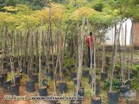 Mudas Nativas  para Reflorestamento de 50 CM  a 2,5 M