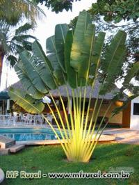 Palmeira Ravenala