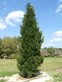 Podocarpus - Pinheiro do Buba