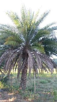 Tamareira (Phoenix dactylifera) com 2 metros de tronco R$ 4.000,00