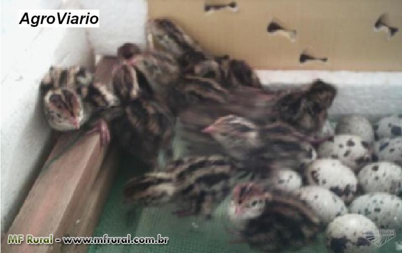 Codornas Gigantes ( Codornão ) Ovos férteis, Pintinhos, matrizes e reprodutores, 0,500 gramas.