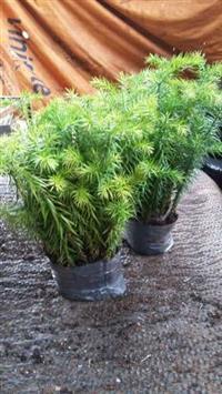 Mudas Pinheiro Araucária (pinheiro brasileiro)