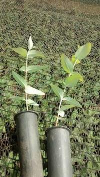 Plantio de mudas de eucalipto, erva mate, nativas