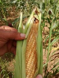 Milho Verde in natura