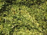 Silagem de milho Fazenda Cintra - Major Izidoro/AL