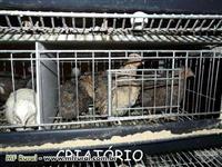 Ovos Frescos Férteis Galado Codornão Gigante - Pague 12 Leve 15