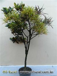 Crotons com várias espécies em uma única planta.
