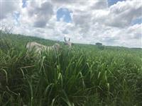Fazenda 388 ha formado em pasto