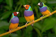 vendas de passaros ( sparrow/bavette/diamant goold 7 cores/mandarim/piriquito)