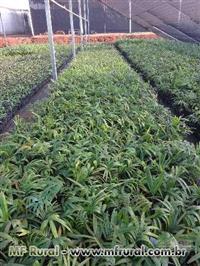 Mudas de Palmeira com 30 cm, veithia, phenix canariense, imperial e real