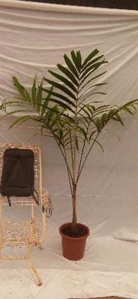 Palmeira Veictha