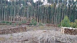 Mato de eucalipto
