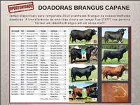 VENDA DE PRENHEZES BRANGUS - FAZENDA SÃO JOÃO - CACHOEIRA DO SUL – RS
