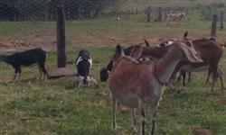 Cabras Anglonubia PO