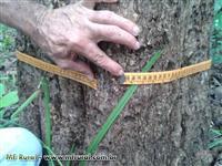 Vendo madeira de teca com 19 anos de plantio