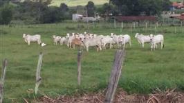 Lote Vacas Nelore P.O