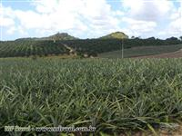 Fazenda de Laranja consorciada c/Abacaxi no Povoado Mato Grosso em Estância/SE