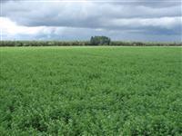 Fazenda produtora de feno / pré secado de ALFAFA e TIFTON